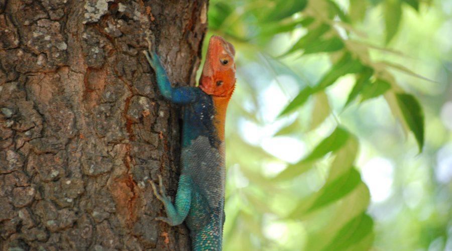 przepiękna jaszczurka afrykańska naprzydrożnym drzewie podczas wyjazdu nasafari wtrakcie wycieczki doKenii zbiurem Rainbow
