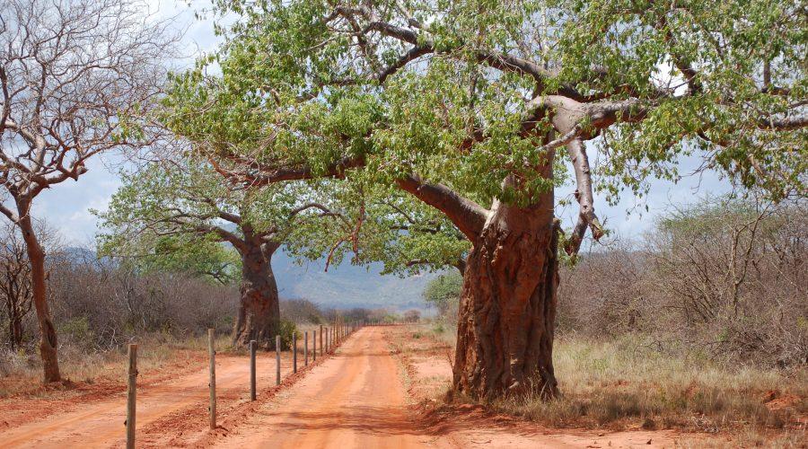 okazałe baobaby wparku Tsavo West podczas safari wKenii