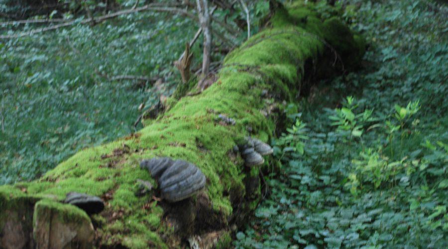 powalone drzewo wBieszczadzkim Parku Narodowym uwiecznione podczas wycieczki poBieszczadach wewrześniu 2020