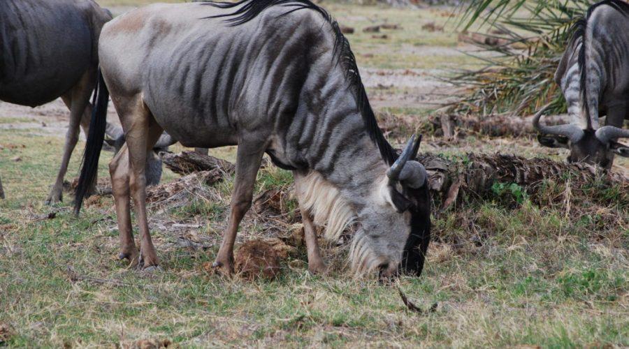 safari wafryce