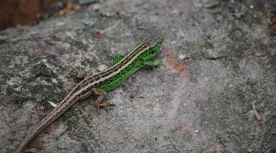 jaszczurka zwinka znaleziona naściętym drzewie podczas spaceru poWierchomli Wielkiej niedaleko ośrodka narciarskiego Dwie Doliny