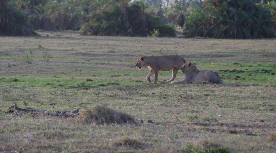 dwie lwice wParku Amboseli podczas safarii wKenii