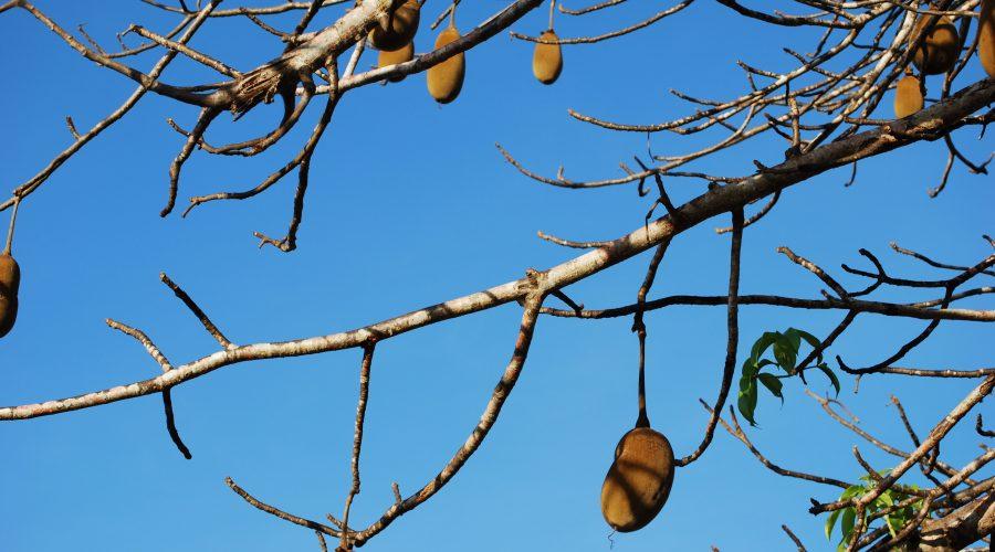 drzewa kenii