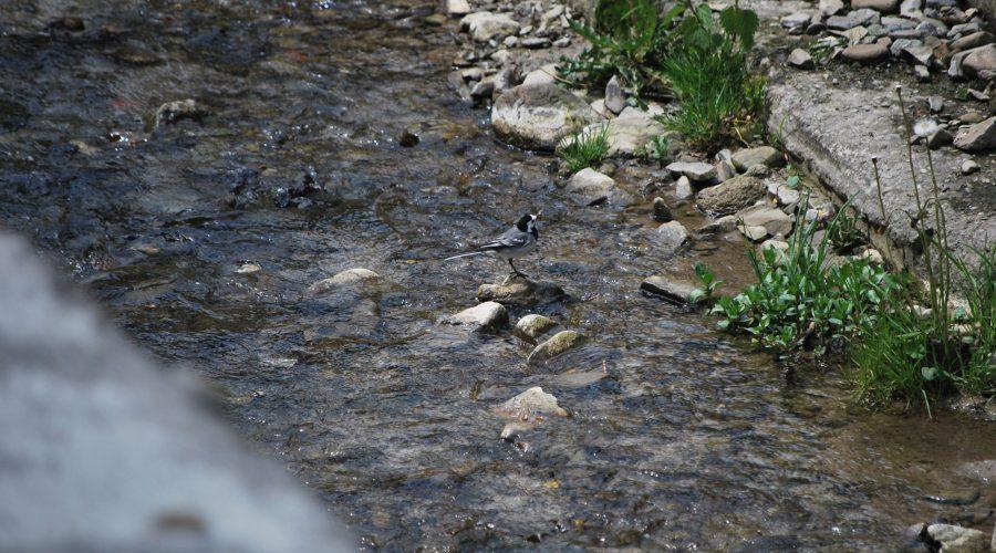 ptak zrodziny pliszkowatych - pliszka siwa przy górskim potoku wWierchomli Wielkiej