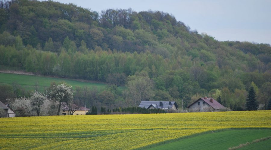 rapeseed fields in a vicinity of a town of Skala in the Polish Jura