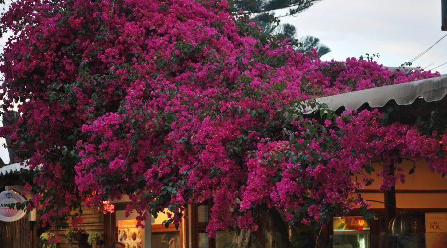 przykład niezwykle bujnej ibogatej roślinności nawyspie Korfu