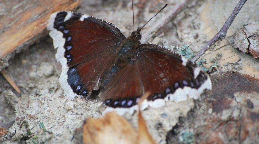 rusałka żałobnik pospolity motyl dzienny uwieczniony naściętym drzewie podczas weekendu wWierchomli niedaleko hotelu Dwie Doliny