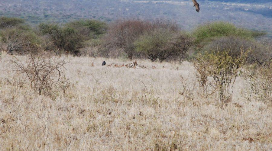 zwierzeta padlinozerne kenia